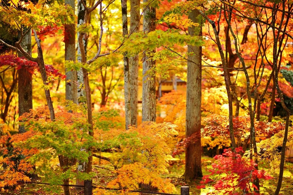 Fall foliage at Eikando Temple in Kyoto, Japan.